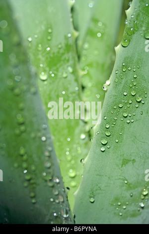 Usine de brûler l'Aloe vera