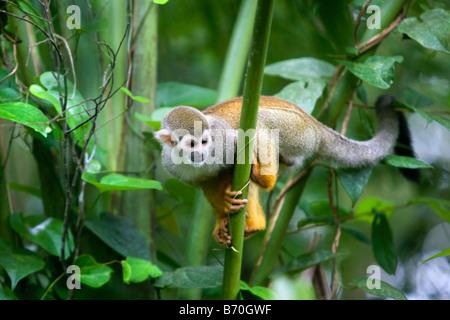 Le Suriname, Laduani, sur la rive de la rivière Suriname Boven. Singe écureuil (Saimiri sciureus sciureus).