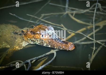 Le Suriname, Laduani, sur la rive de la rivière Suriname Boven. Caïman nain. (Paleosuchus palpebrosus). Le repos, le sommeil.
