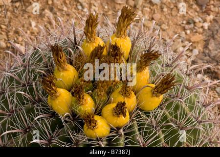 Fishhook Barrel Cactus Ferocactus wislizenii fruits en Arizona Banque D'Images