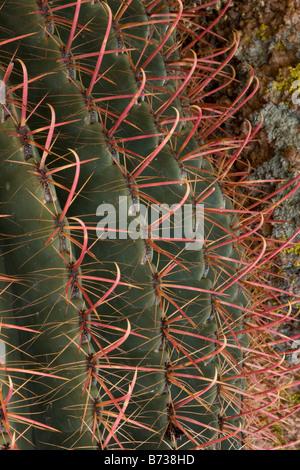 Les épines de cactus Ferocactus wislizenii Fishhook Barrel du désert de l'Arizona Banque D'Images