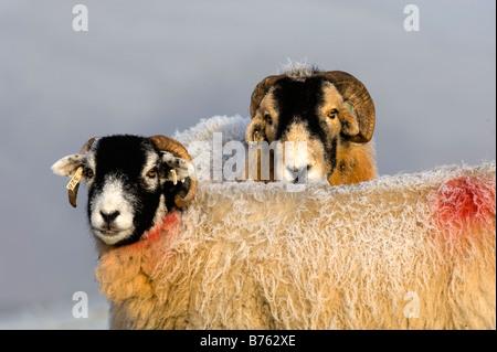Brebis Swaledale ram et à temps à la fin de l'automne tupping Cumbria Banque D'Images