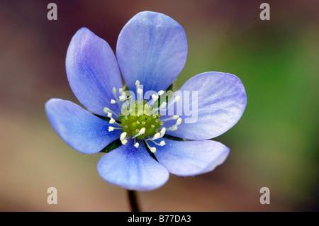 Kidneywort, hépatique ou l'ombelle (Hepatica nobilis), Provence, Sud de France, France, Europe