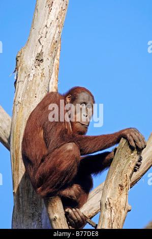 Orang-outan (Pongo pygmaeus), homme Banque D'Images