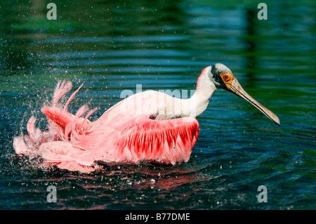 Ajaja Roseate Spoonbill (Ajaia ajaja, ajaja), baignade, Florida, USA Banque D'Images