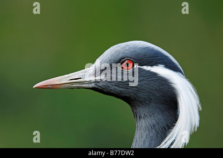 Grue demoiselle (Anthropoides virgo, Grus virgo), portrait Banque D'Images