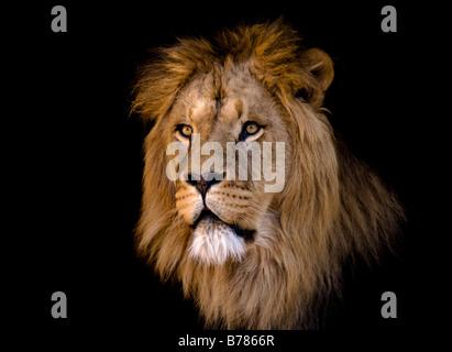 Portrait d'un grand homme d'Afrique lion Banque D'Images