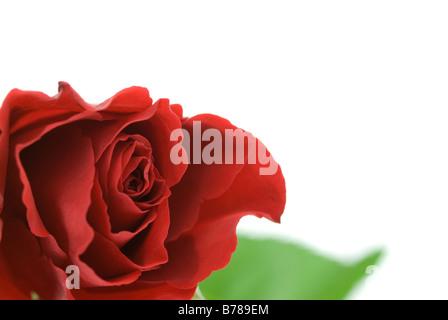 Belle rose rouge isolé sur fond blanc Banque D'Images