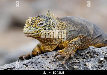 Iguane terrestre des Galapagos (Conolophus subcristatus), Plaza Sur Island, îles Galapagos, Equateur, Amérique du Sud