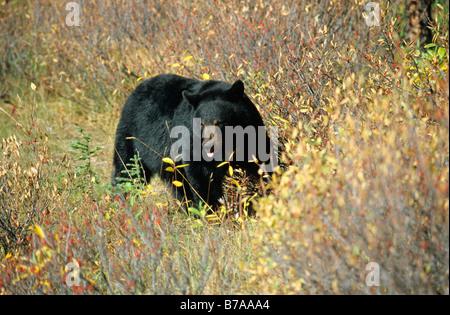 Ours noir (Ursus americanus), l'Alaska, Amérique du Nord