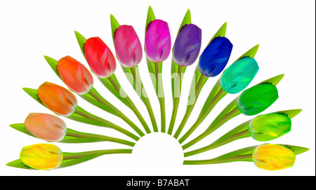 Tulipes colorées disposées en forme d'éventail sur blanc Banque D'Images