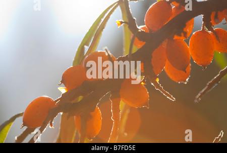 Argousier ( Hippophaë rhamnoides ) baies , Finlande