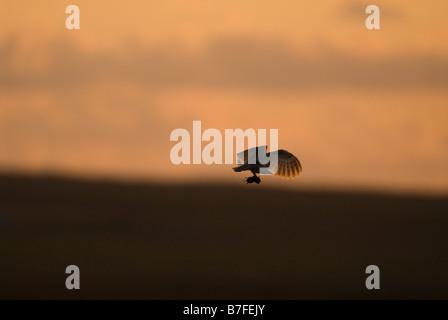 Effraie des clochers Tyto alba en vol avec des proies campagnols au crépuscule peut l'Écosse Caithness Banque D'Images