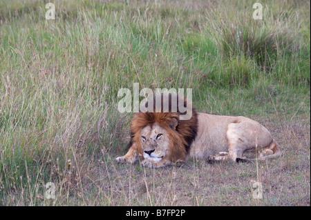 African lion mâle au repos Banque D'Images