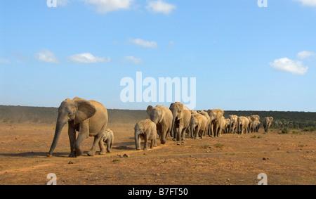 Longue rangée de soif éléphants marchant au waterhole dans Addo Elephant National Park, Eastern Cape, Afrique du Banque D'Images