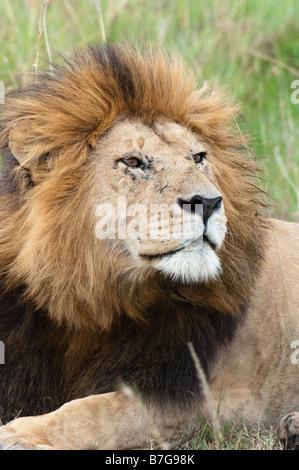 Portrait of mature male lion Banque D'Images