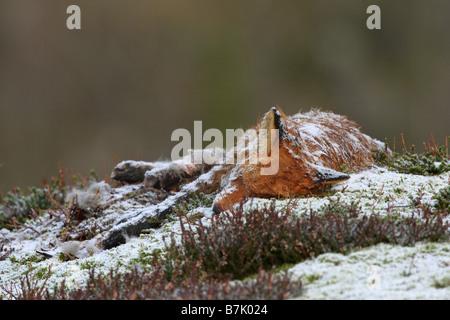 Le Renard roux Vulpes vulpes carcasse couchée sur le flanc d'une montagne dans la neige en hiver Banque D'Images