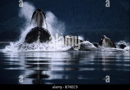 Les baleines à bosse bubblenet Tenakee Inlet, l'alimentation, au sud-est. Alaska Banque D'Images