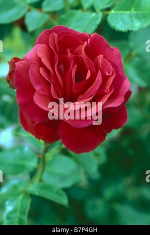 La ligne Rose (Rosa sp.), la variété: sympathie, fleur Banque D'Images