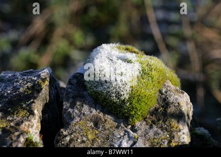 Frost couverts touffe de mousse-vis mur Vallée du collecteur Staffordshire, Angleterre Banque D'Images