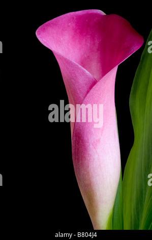 Calla Lily rose fleur et feuille détaillant sur fond noir Banque D'Images