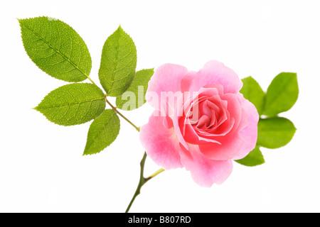 Rose rose sur fond blanc Banque D'Images