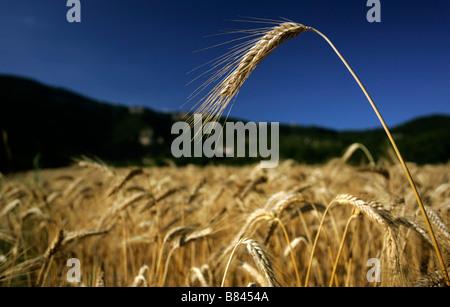 Gerbe de blé dans un champ de blé ci-dessous hills du Causse du Larzac, dans le Massif central dans l' Hérault dans Banque D'Images