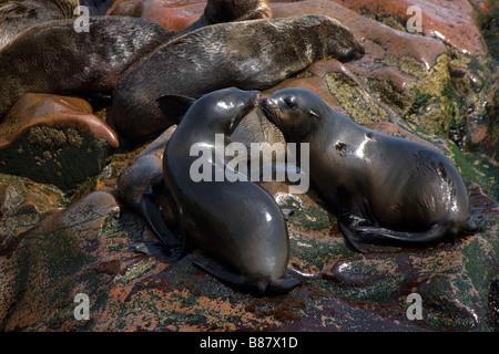 Les Otaries à fourrure du Cap affectueux dans la colonie à Cape Cross, la Namibie Banque D'Images