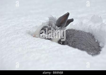 Lapin nain à tête de lion dans la neige