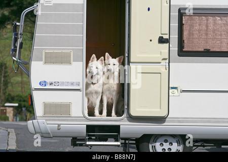 Deux chiens de Berger Blanc Suisse en camping- Banque D'Images