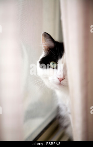 Rideau de fenêtre de chat derrière Banque D'Images