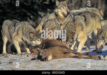 Tk0052, Thomas Kitchin; le Loup gris/loup ordinaire de meute de cerf de Virginie l'hiver des proies est Canis lupus Banque D'Images