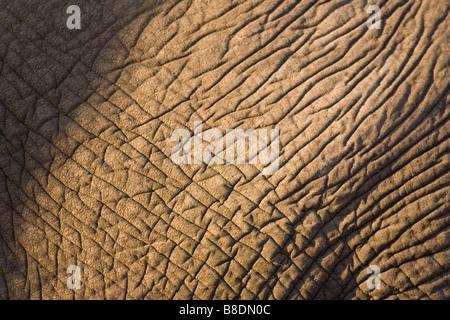 Peau de l'éléphant africain Banque D'Images