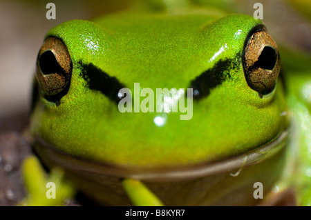 Close up of a Green et Golden Bell [Grenouille Litoria aurea]. Banque D'Images