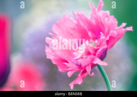 Fleur de pavot pivoine rose, vert doux fond bleu Banque D'Images
