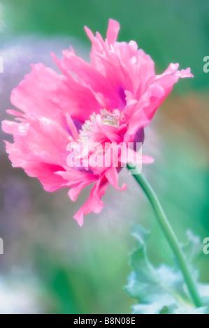 Close-up de fleur de pivoine Rose Banque D'Images