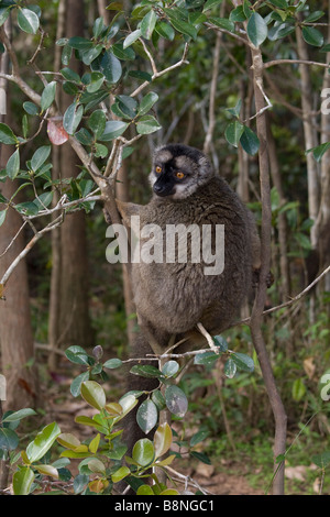 La façade rouge mâle lémurien brun à Andasibe Madagascar Banque D'Images