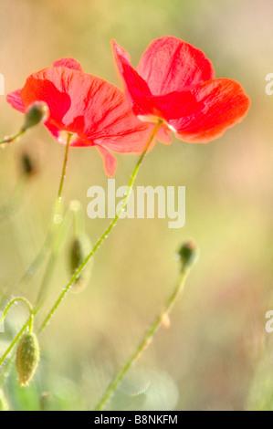Été libre de l'épanouissement des fleurs de pavot rouge Banque D'Images