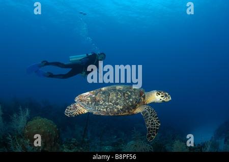 Une tortue imbriquée à nager sur le récif tandis qu'un plongeur montres. Banque D'Images