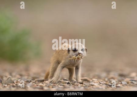 La Namibie Afrique Keetmanshoop Meerkat Suricate pup suricatta manger petit Scorpion pris dans le désert de Namib Banque D'Images