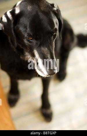 Labrador noir assis Banque D'Images