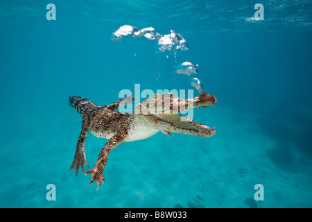 Saltwater crocodile Crocodylus porosus Queensland Australie Banque D'Images