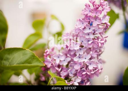 fleur lila Banque D'Images