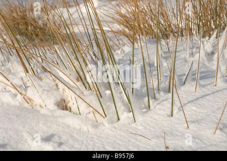 Gros plan de graminées séchées dans la neige Yorkshire du Nord Angleterre Royaume-Uni GB Grande-Bretagne