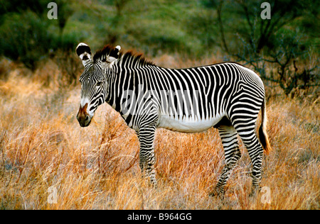 Le zèbre de Grevy EN AFRIQUE KENYA Banque D'Images