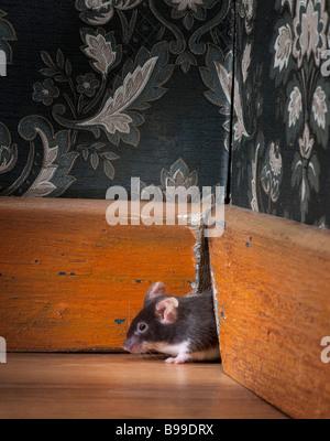 En sortant de la souris ot son trou dans une chambre à l'ancienne de luxe Banque D'Images
