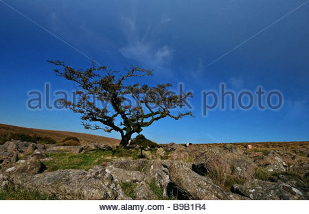 Un arbre noueux sur Weatherdon Hill Devon Dartmoor Banque D'Images