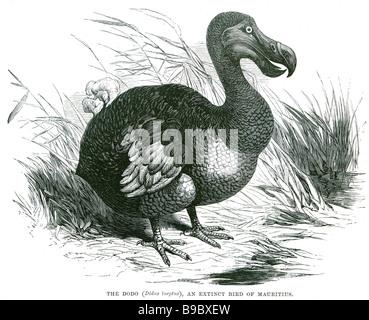 Didus ineptus le dodo une espèce d'oiseau de l'île Maurice Le dodo (Raphus cucullatus) est un oiseau endémique de l'Oce indien