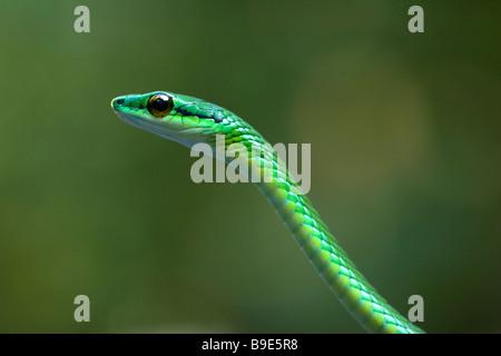 À nez court Serpent de vigne Oxybelis brevirostris