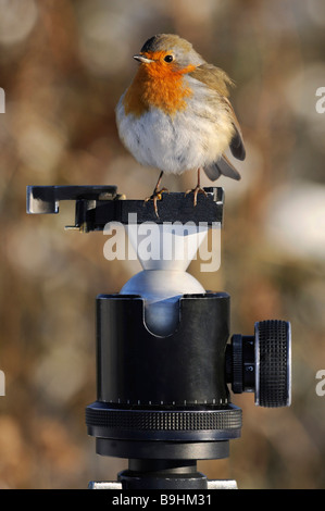 European Robin (Erithacus rubecula aux abords) avec des plumes soufflées sur la tête d'un trépied Banque D'Images
